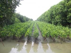 Hutan Mangrove Kaliwlingi Brebes Jawa tengah